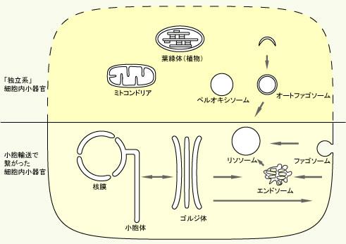 オルガネラの模式図