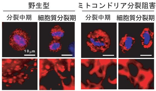 細胞分裂期のミトコンドリア分裂