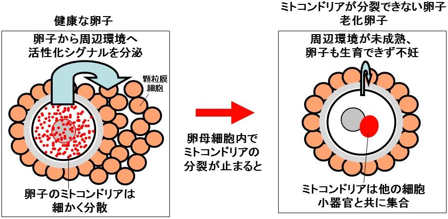 卵子におけるミトコンドリア分裂の意義の解明 ...