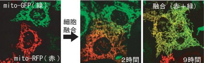 ミトコンドリア融合反応の可視化