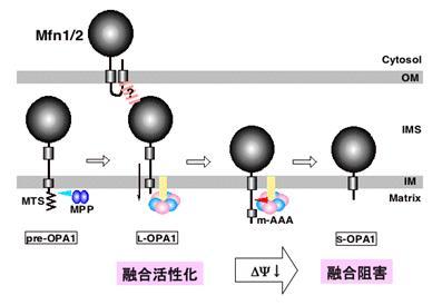 OPA1の切断によるミトコンドリア形態制御