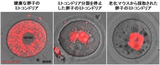 oocyte1